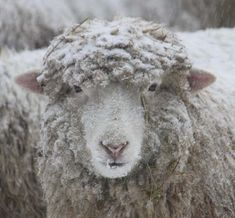 Getting Stitched on the Farm: Scenes of Sheep in a Two Day Storm