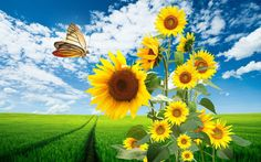 sunflower theme background images - sunflower category