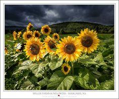 Don Merritt | Last of the Margaree Sunflowers | Cape Breton NS | Merritt is from Sydney Mines, NS
