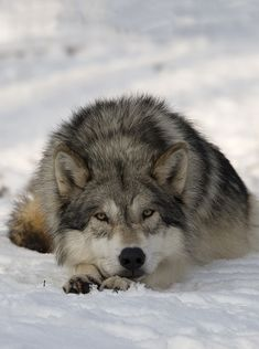 Grey Wolf by Walter Vorbeck..in most of the lower 48 they are under siege