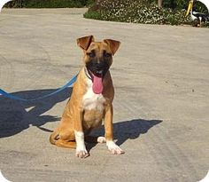 Lathrop, CA - Shepherd (Unknown Type)/Terrier (Unknown Type, Medium) Mix. Meet Allie, a puppy for adoption. http://www.adoptapet.com/pet/14995105-lathrop-california-shepherd-unknown-type-mix
