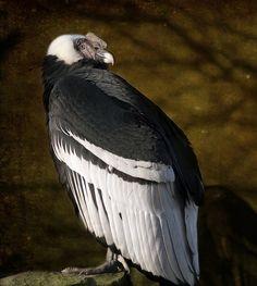 Rare Andean Condor (Vultur gryphus) by Steve Wilson Extinct Animals, Rare Animals, Beautiful Birds, Animals Beautiful, Rapace Diurne, Andean Condor, Rare Birds, Big Bird, Birds Of Prey