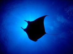 Manta rays - such bizarre-looking creatures - also loaned body parts to the composite that became the cacodaimons. In this case, the distinctive shape of a manta-ray's body lends itself to the flare of a cacodaimon's hood.