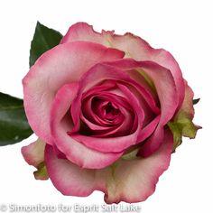 """""""Variance"""" hot pink bi-color rose"""