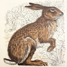 """Hare"" by Paxton Chadwick taken from his Puffin Picture Book ""Wild Animals in Britain"", 1958 (lithograph)"