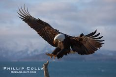 eagles in flight | Bald eagle in flight, spreads its wings wide to slow before landing on ...