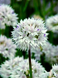 Along with the garlic bulb the plant is perennial and will decorate your garden…