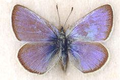 Xerces Blue butterfly, extinct ~1940's.