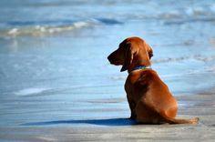 doxie on the beach