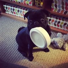 Need help whats my Albie trying to say? http://ift.tt/2BLm8H5 #pug