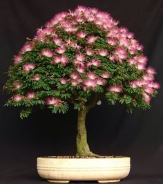 Bonsai....how beautiful. Mimosa's are one of my favorite flowers, this almost looks lit up. I love it!