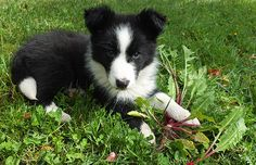 The new puppy, a black and white Border Collie called Winnie. Already weeding the garden for me!