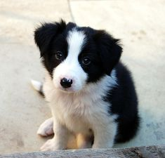 Jess, our border collie puppy | by sals_r