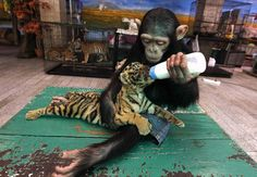 Hahaha look at this baby monkey feeding a baby tiger with a bottle . There BFF . Samba=the baby tiger and chimp= the baby monkey . Cute Baby Animals, Animals And Pets, Funny Animals, Wild Animals, Small Animals, Funny Cats, Beautiful Creatures, Animals Beautiful, Animals Amazing
