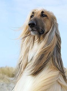 Image result for afghan hound cartoon