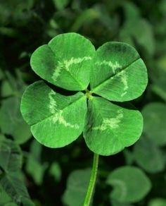 lucky four leaf clover!
