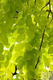 Image result for golden Robinia tree