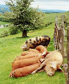 Ty Mynydd Organic Farm Bed and Breakfast, Herefordshire. Guests can buy Ty Mynydd pork, sausages and bacon from our rare breed Oxford Sandy pigs http://www.tymynydd.co.uk/