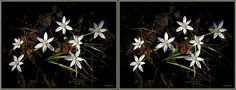 "3D stereo crossview of small delicate white wildflowers growing in Spring along the bank of the Unicorn Lake stream tributary to the Chester River on Maryland's Eastern Shore.  This side-by-side stereo pair format called ""Crossview"" or ""X-View"" is a popular stereoscopy with some stereo enthusiasts because no head-wear is required and there is no inherent ghosts as with the anaglyh format.  On the other hand, details are smaller and the entire side-by-side image must be within view to get the…"