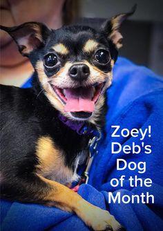 Chihuahua dog for Adoption in Negaunee, MI. ADN-510557 on PuppyFinder.com Gender: Female. Age: Senior