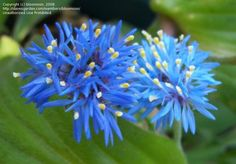 This gorgeous blue bloom of Brunonia australis is our Bloom-of-the-Day. Photo courtesy of blomoon.