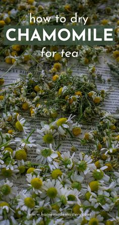 How to dry chamomile for tea! How to dry herbs! Herbs are great for health and easy to grow at home, one of the best ways to preserve fresh herbs is drying. Learn about the health benefits of this medicinal herb and how to dry it at home, so you can use it in tea.