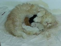 Garance De La Fontaine Mamoine chat Selkirk Rex - Selkirk Rex - Ideas of Selkirk Rex - Garance De La Fontaine Mamoine chat Selkirk Rex The post Garance De La Fontaine Mamoine chat Selkirk Rex appeared first on Cat Gig. Selkirk Rex Kittens, Kitten For Sale, T Rex, Funny Cats, Animals, Ideas, Cute Kitty, Gatos, Adorable Animals