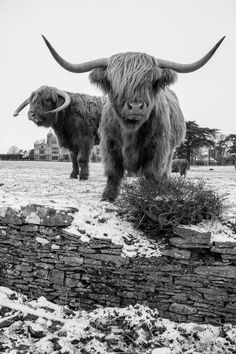 Highland Cattle 15 - Fine Art Photography - Highland Cow - Nature Photography