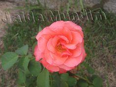 Roseira cor de rosa  28/02/2013