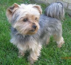 CHAMPY is an adoptable Yorkshire Terrier Yorkie Dog in Cherry Hill, NJ. ADOPTION PENDING � Is this a face to die for or what? �They don't get much cuter. �Champy is 3 yrs old, 10 lbs, and supposed to ...
