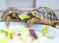 As a turtle owner, setting up your turtle's habitat is key to keeping them healthy. This is where your pet will spend most of their time, and it needs to be just right. Here are general guidelines to help make your turtle's home a good one. Turtle Tub, Big Turtle, Small Turtles, Aquatic Turtle Tank, Aquatic Turtles, Tortoise Cage, Tortoise Turtle, Yorkshire Terrier, Turtle Tank Filters