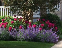 Knock-out roses and salvia