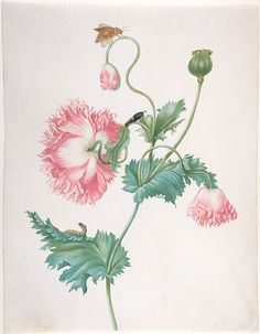 Johanna Helena Graff | A Poppy in Three Stages of Flowering, with a Caterpillar, Pupa and Butterfly | late 17th century, watercolor, Netherlands. The Met