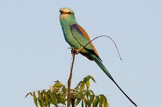 Abyssinian Roller http://worldwide-birding-tours.com/