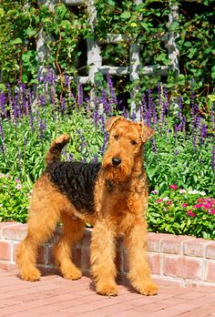 DOG 02 01 © Kimball Stock Airedale Terrier Standing On Brick Patio By Flowers Source by The post DOG 02 01 © Kimball Stock Airedale Terrier Standing On Brick Patio By Fl& appeared first on RR Dogs. Airedale Terrier, Welsh Terrier, Wire Fox Terrier, Terrier Dogs, Large Dog Breeds, Large Dogs, Dog Lover Gifts, Dog Lovers, Home Bild