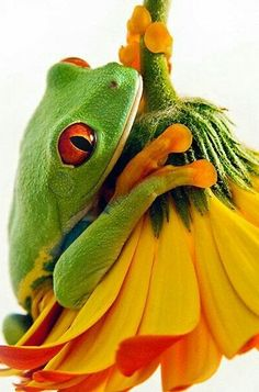 Funny Frogs, Cute Frogs, Beautiful Creatures, Animals Beautiful, Cute Animals, Wild Animals, Red Eyed Tree Frog, Green Frog, Flower Frog