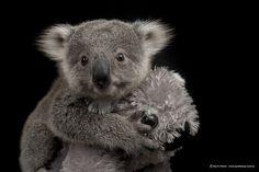 Imogen vai celebrar o seu primeiro aniversário no dia 14 de novembro. | Uma coala bebê foi fotografada e as imagens de bastidores são fofas demais