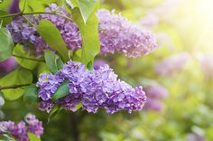 Lilacs are a wonderfully scented, spring blooming plant.  Cut some stems to fill your home a fresh, flowery scent.  Hummingbirds are attracted to them as well.
