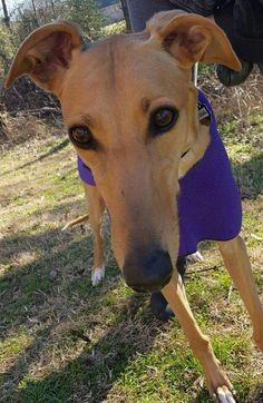 After a long fight with heartworms, Equal is finally well and ready to find her forever home! http://www.galtx.org/hounds/equal.shtml #available #greyhound