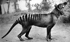 Tasmanian Tiger (Thylacinus cynocephalus) - Extinct