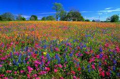 Industry Texas -- Mixed Wildflower Field #1, Apr 2005 | Flickr ...