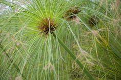 Cómo reproducir el papiro - http://www.jardineriaon.com/como-reproducir-el-papiro.html #plantas