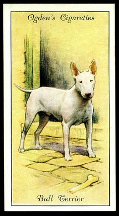 "Cigarette Card - Bull TerrierOgden's Cigarettes ""Dogs"" (series of 50 issued in 1936) #37 Bull Terrier"