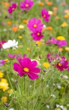 Cosmos in a meadow style planting of mixed annuals