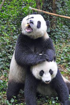 Chengdu Panda Breeding Center (Centro de Reproducción de Pandas Chengdu), por Ben Ho: