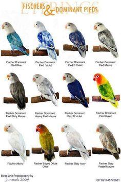 lovebird types - Поиск в Google