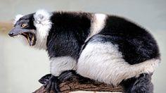 Pochi chilometri a nord di Tamatave, l'Ivolonia è un parco zoologico ed una riserva naturale di ben oltre 280 ettari. Qui avrete la garanzia di vedere alcune splendide creature tenute in cattività per scopi di riabilitazione. Sarete accolti da molti lemuri non proprio timidi e da tanti altri animali selvatici in piena lberta. Sopra, un non felicissimo lemure variegato: anche loro perdono la pazienza. Sembra un piccolo panda vero?