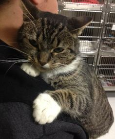 Mama is a very sweet and lovable cat that needs someone to really help her come out of her shell. Mama is about 3 years old but very shy. She likes being held and can be a lap cat. She came in to the shelter after someone found her living in their...