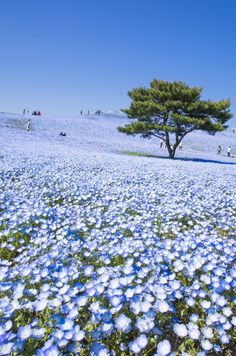 Nemophila Hitachi Seaside Park in Hitachinaka, Japan | The Lifestyle Edit