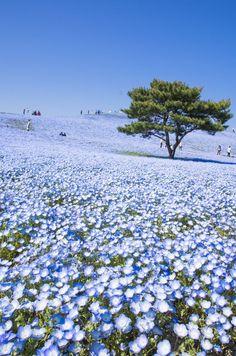 Hitachi Seaside Park ~Japan ひたち海浜公園 http://itz-my.com
